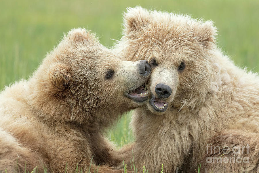 75a4a174 Brown Bear Cubs Photograph by Linda D Lester
