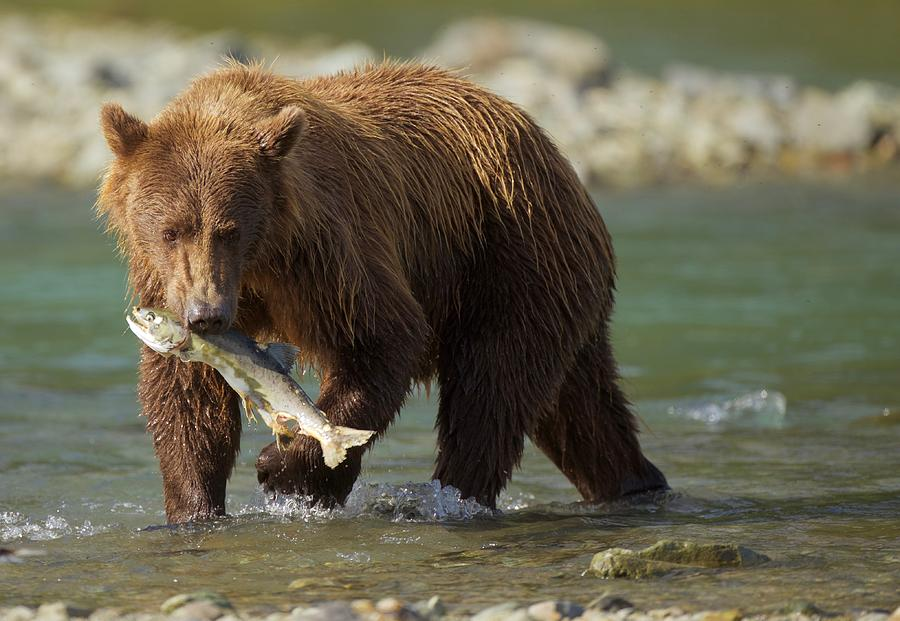 Brown Photograph - Brown Bear With Salmon by Brian Magnier