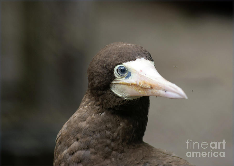 Brown Photograph - Brown Booby by William Tasker