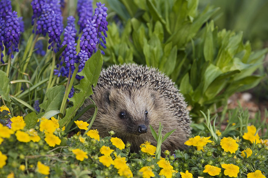 Brown-breasted Hedgehog Erinaceus Photograph by Konrad Wothe