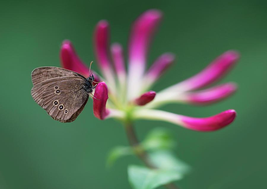Lonicera Photograph - Brown Butterfly Resting On The Pink Plant by Jaroslaw Blaminsky