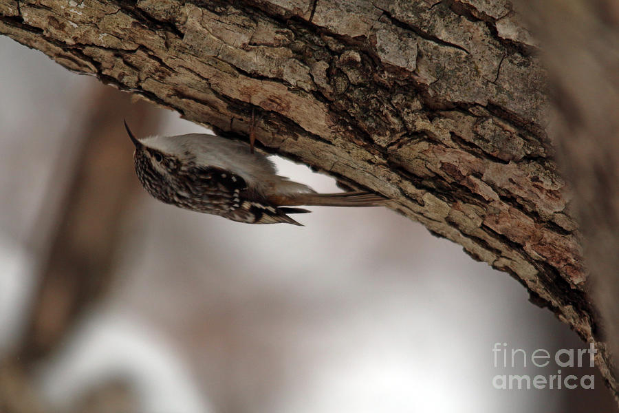Brown Creeper 1  by Jamie Smith