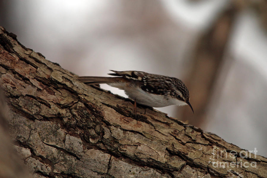 Brown Creeper 2  by Jamie Smith