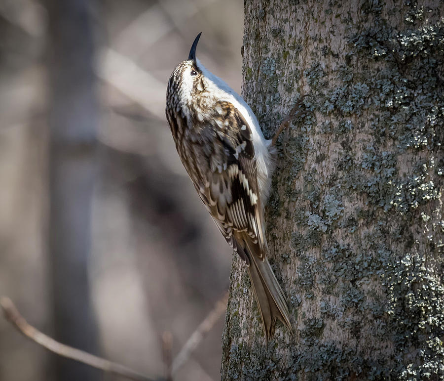 Brown Creeper  by Ricky L Jones