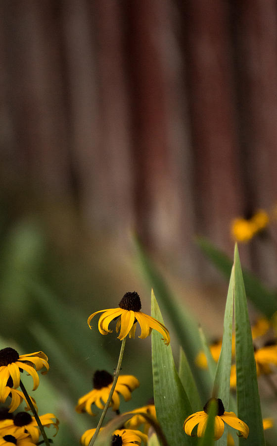 Brown Eed Susans by Red Bard by Photographic Arts And Design Studio