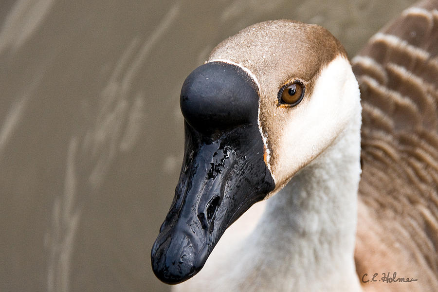 Goose Photograph - Brown Eye by Christopher Holmes