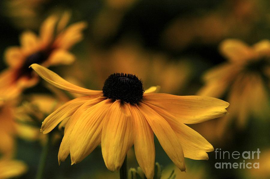 Flower Photograph - Brown Eyed Susan by Dot Lestar