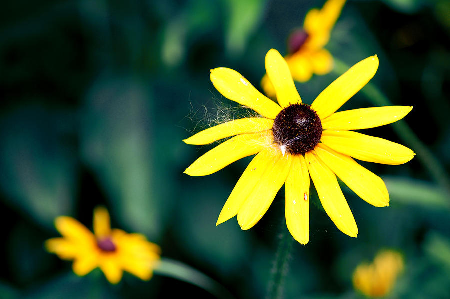 Flower Photograph - Brown Eyed Susan by Jame Hayes