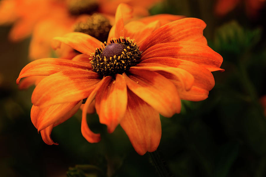 Brown Eyed Susan by Mary Jo Allen