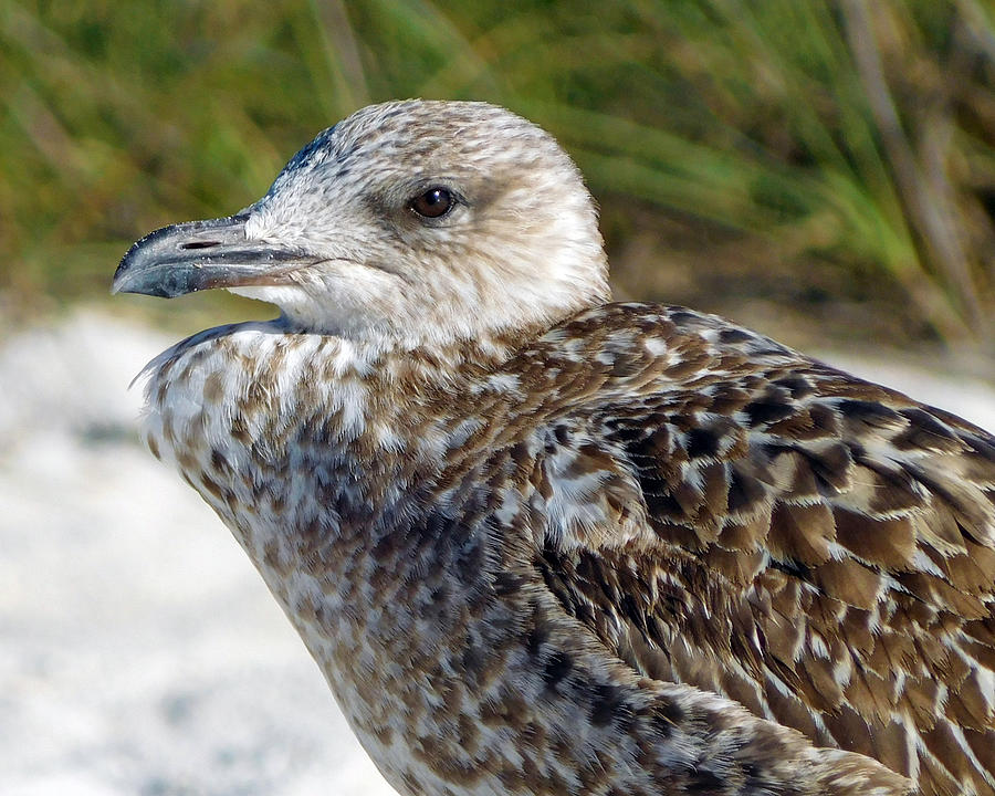 Brown Gull at Wiggins Pass by Robb Stan