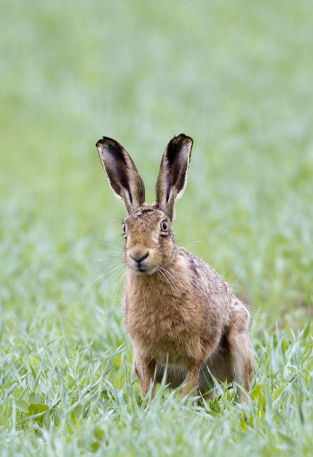 Brown Hare Photograph - Brown Hare by Bob Kemp
