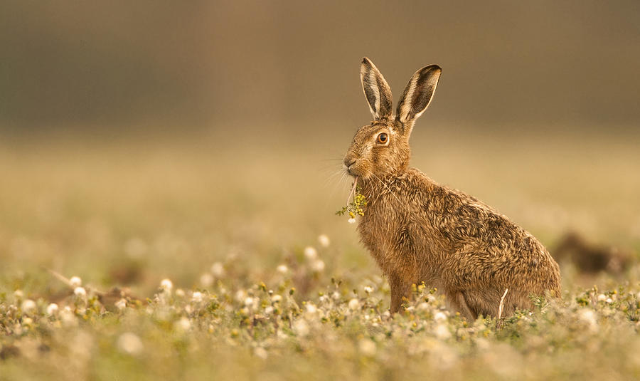 Brown Hare Photograph