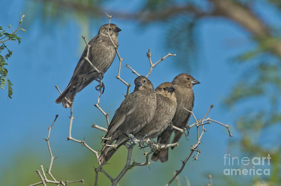 Brown-headed Cowbird Photograph - Brown-headed Cowbirds by Anthony Mercieca