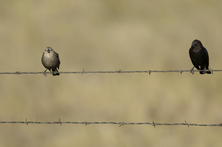 Nobody Photograph - Brown-headed Cowbirds Perch On A Barbed by Joel Sartore