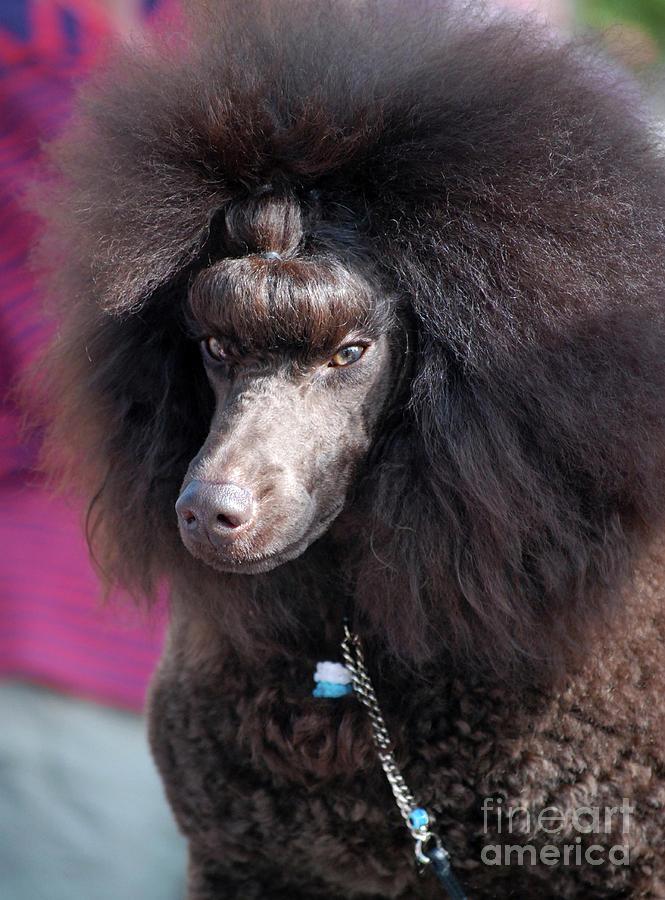 Poodles Photograph - Brown Medium Poodle by Amir Paz
