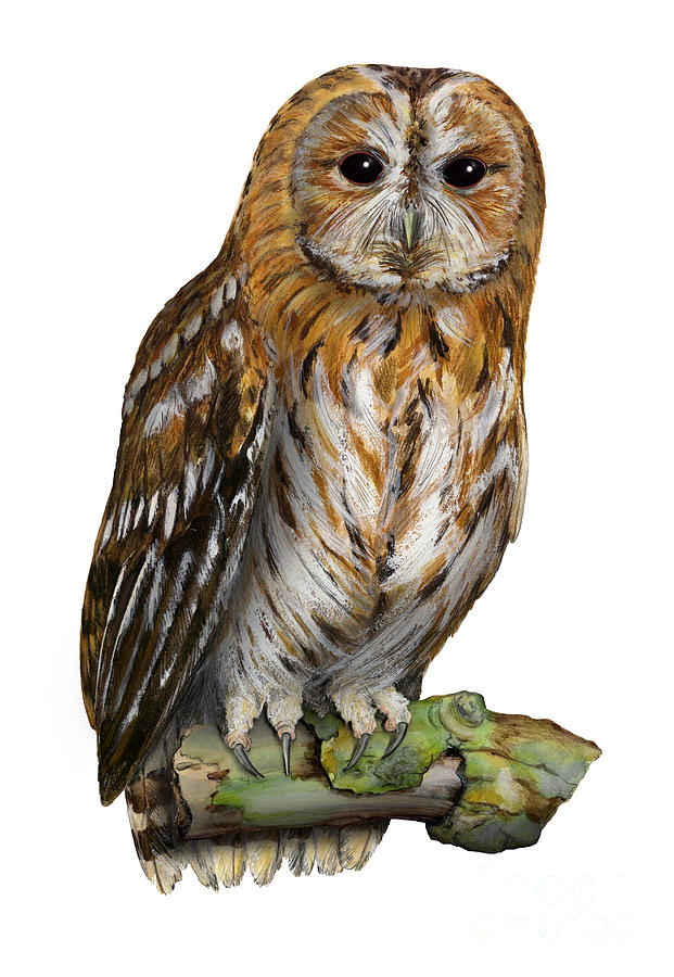 Tawny Owl Paint Color