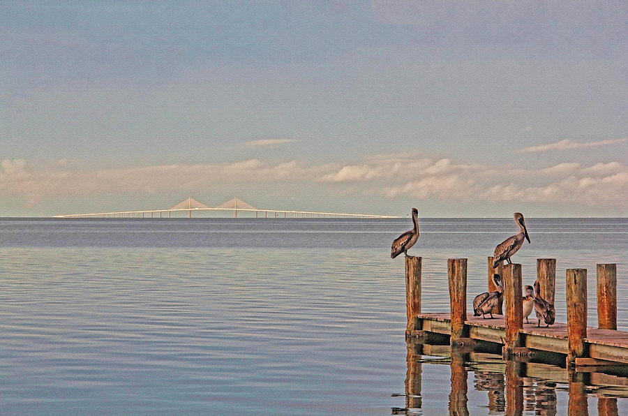Sunshine Skyway Bridge Photograph - Brown Pelican Five by HH Photography of Florida
