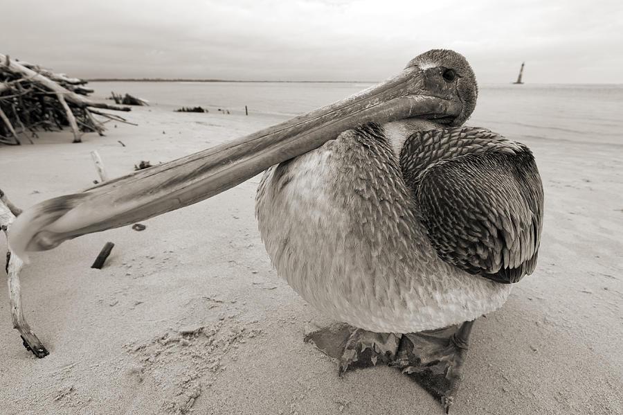 Pelican Photograph - Brown Pelican Folly Beach Morris Island Lighthouse Close Up by Dustin K Ryan