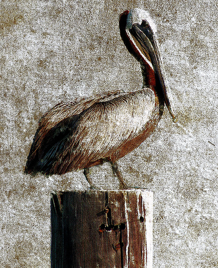 Bird Photograph - Brown Pelican by Gulf Island Photography and Images
