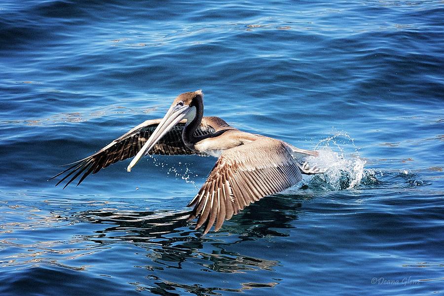 Brown Pelican in Cabo by Deana Glenz