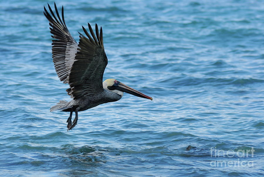 Feather Photograph - Brown Pelican In Flight Over Water by Sami Sarkis