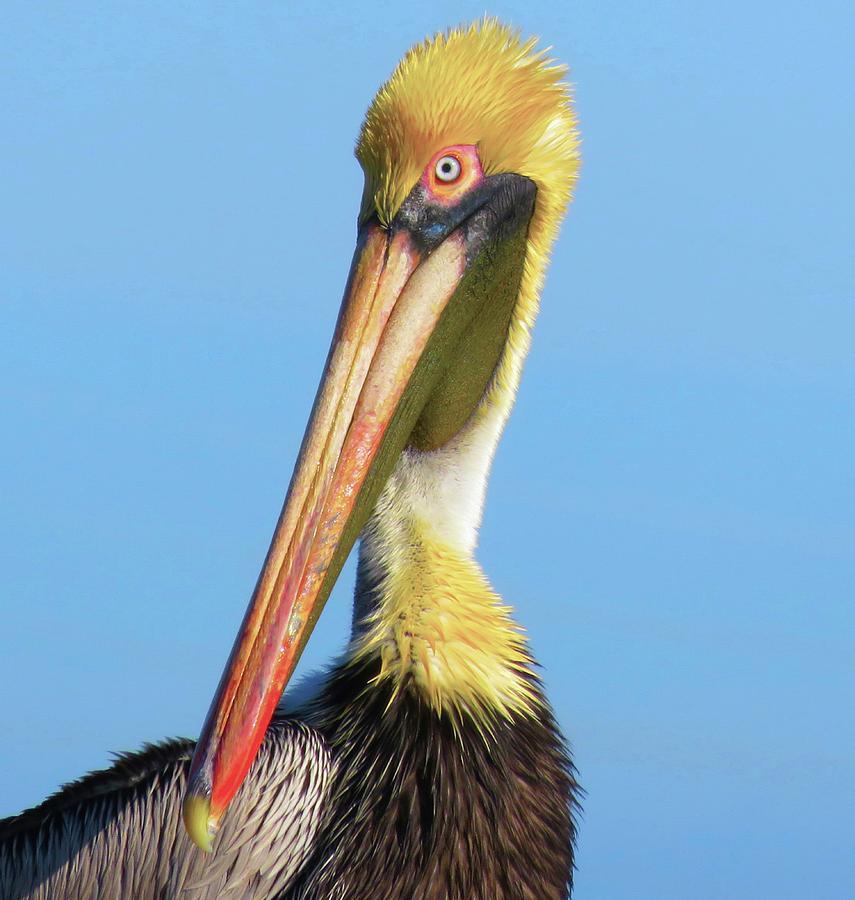 Brown Pelican by Judith Lauter