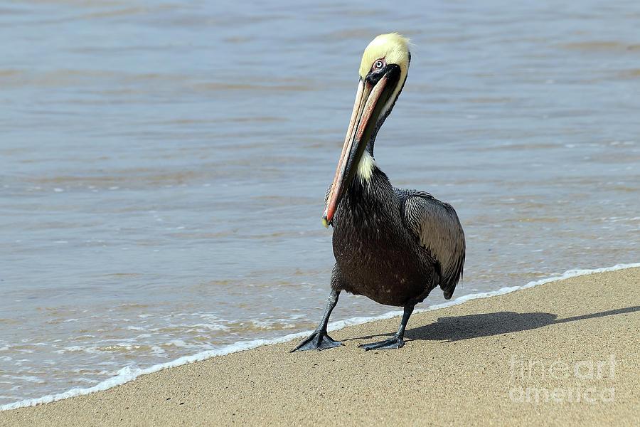 Brown Pelican Posing by Teresa Zieba