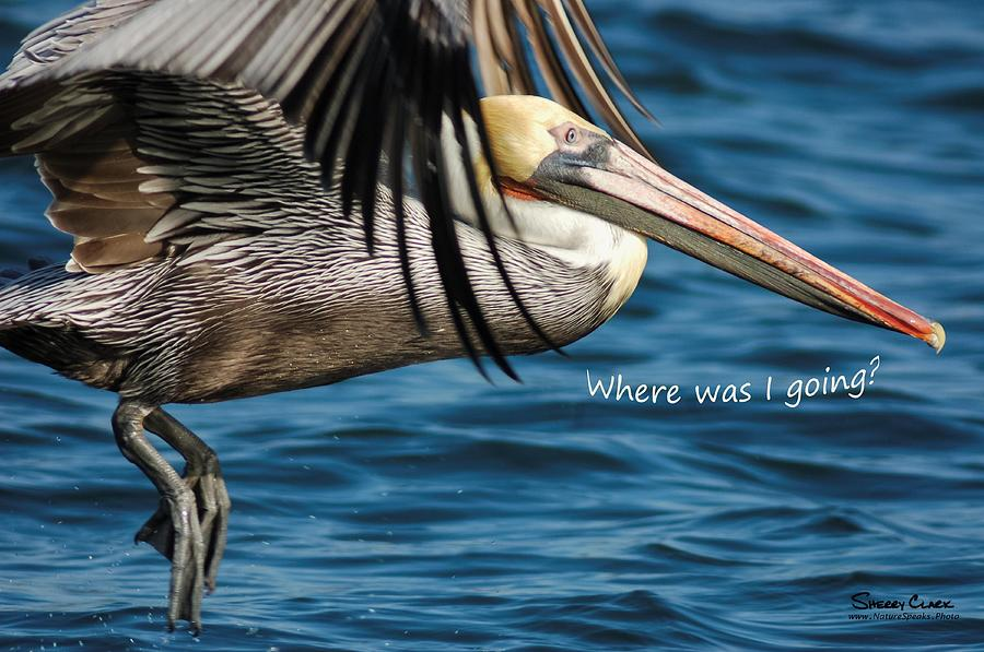 Brown Pelican says Where Was I Going Photograph by Sherry Clark