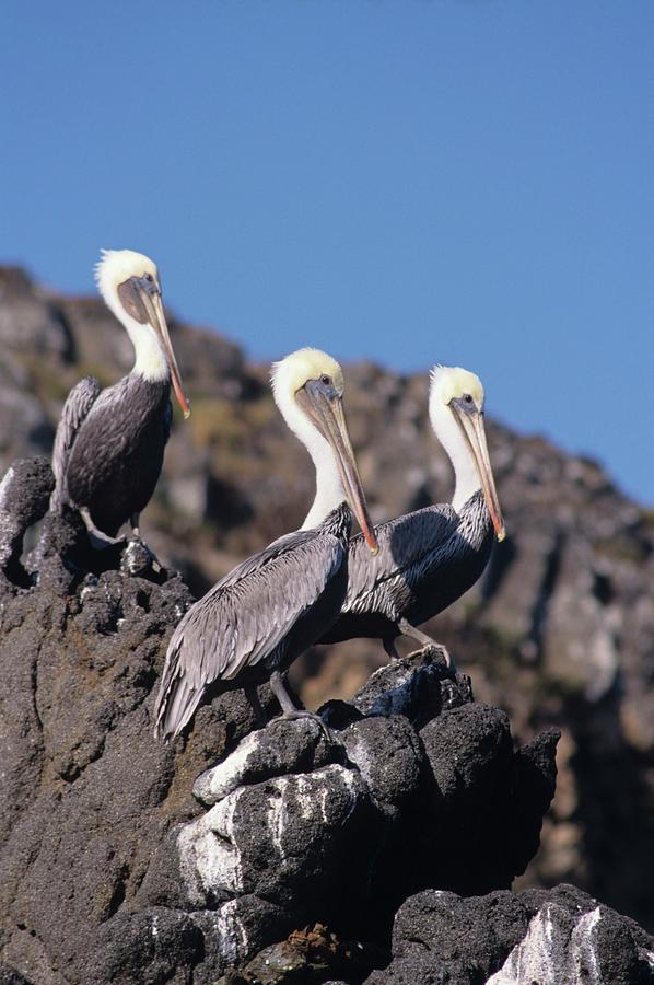 Animals Photograph - Brown Pelican Trio  by Don Kreuter
