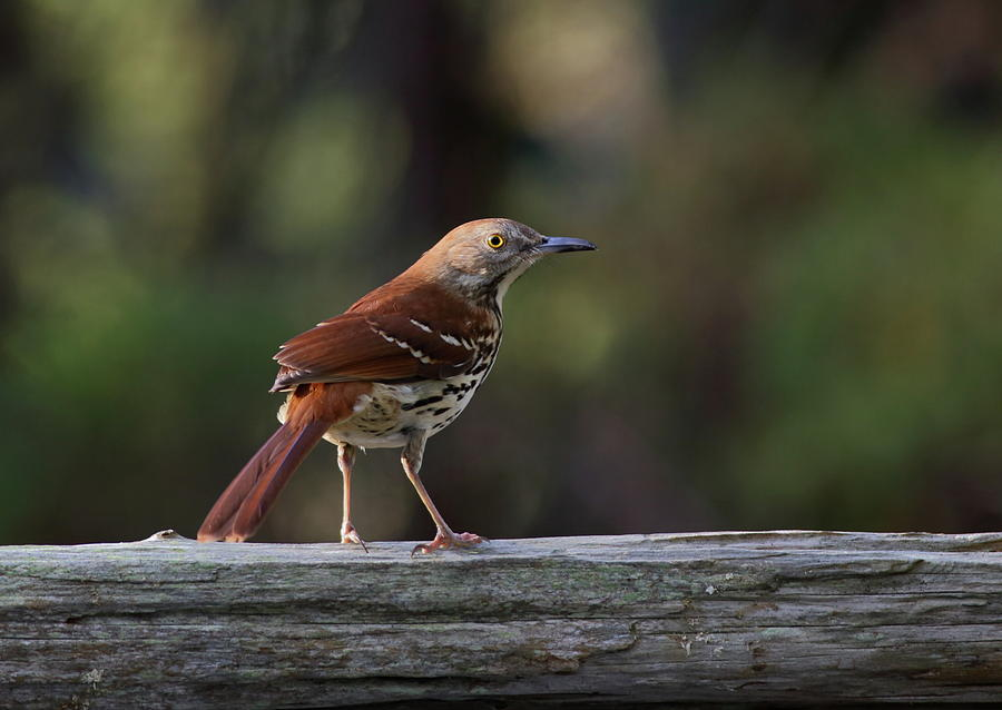Brown Thrasher Facing West by Daniel Reed