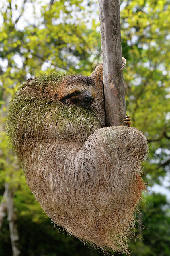brown throated three toed sloth hanging at the end of a branch i