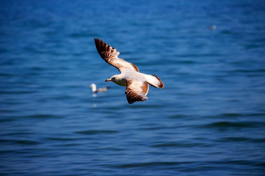 Bird Photograph - Brown Tips II by Amanda Struz