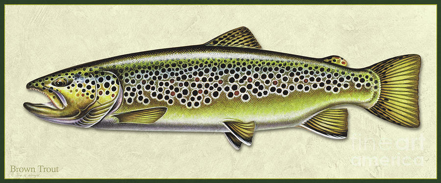 Brown trout ID by Jon Q Wright