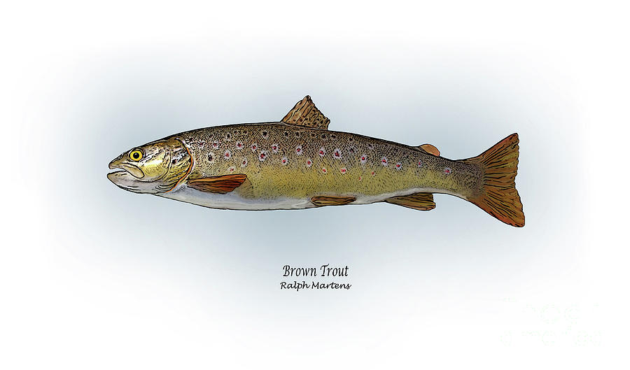 Brown Trout Painting - Brown Trout by Ralph Martens