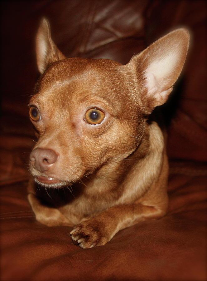 Dog Photograph - Brownie Bear by Paula Deutz