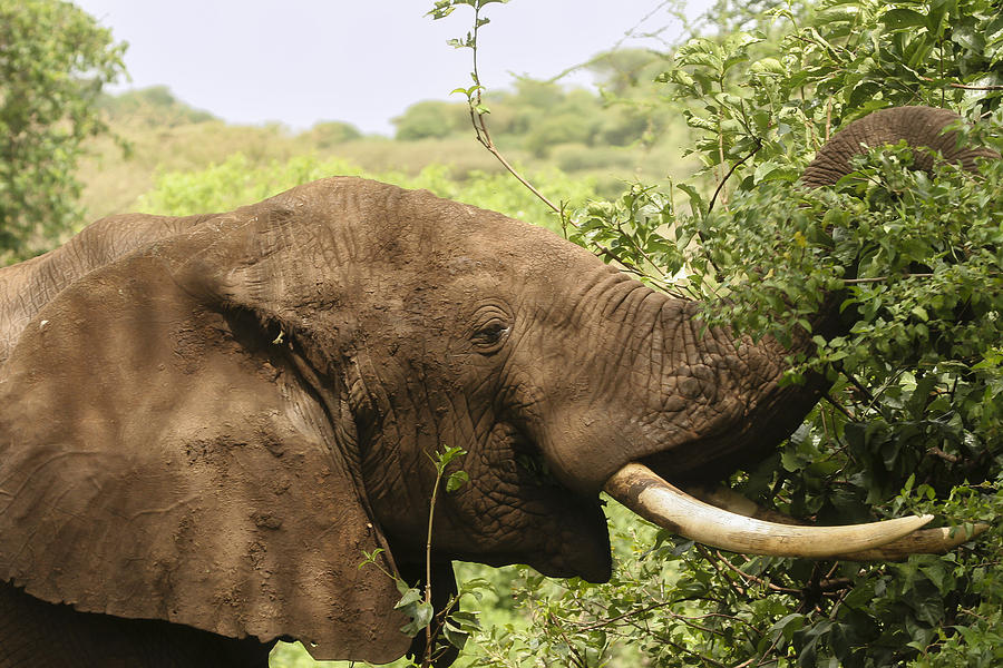 Gary Hall Photograph - Browsing Elephant by Gary Hall
