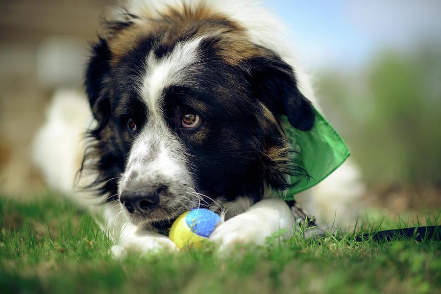 Dogs Photograph - Bruno 3 by Brian Farmer