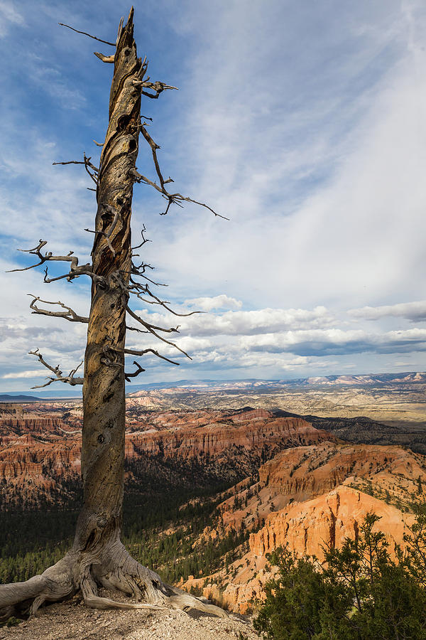 Bryce Canyon Tree by Kathleen Scanlan