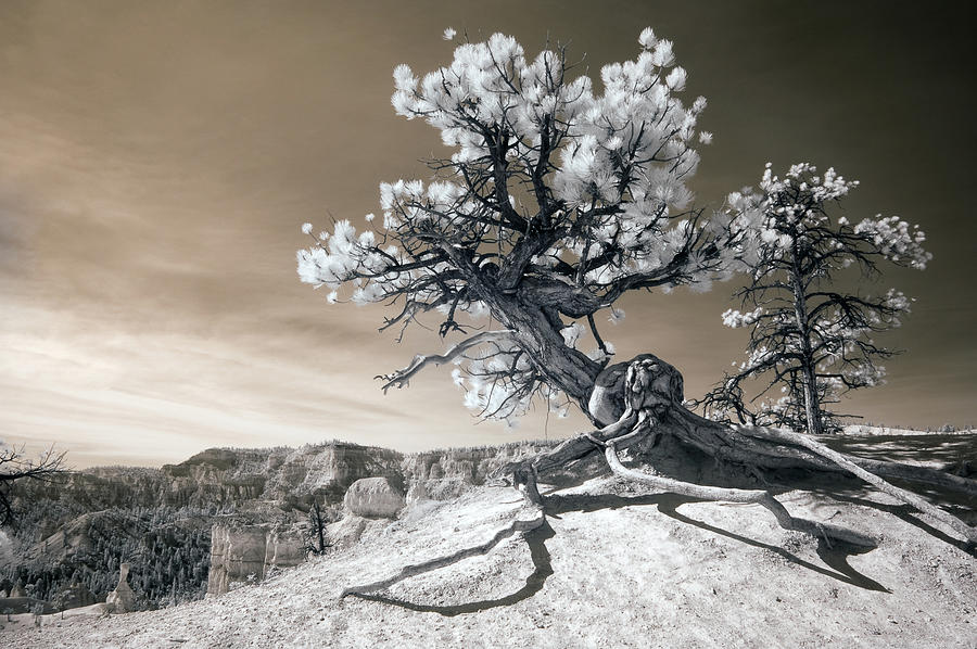 Bryce Photograph - Bryce Canyon Tree Sculpture by Mike Irwin