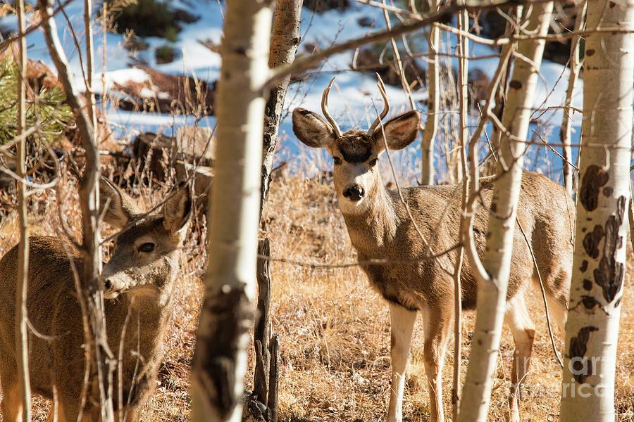 Buck And Doe Mule Deer In Winter Photograph