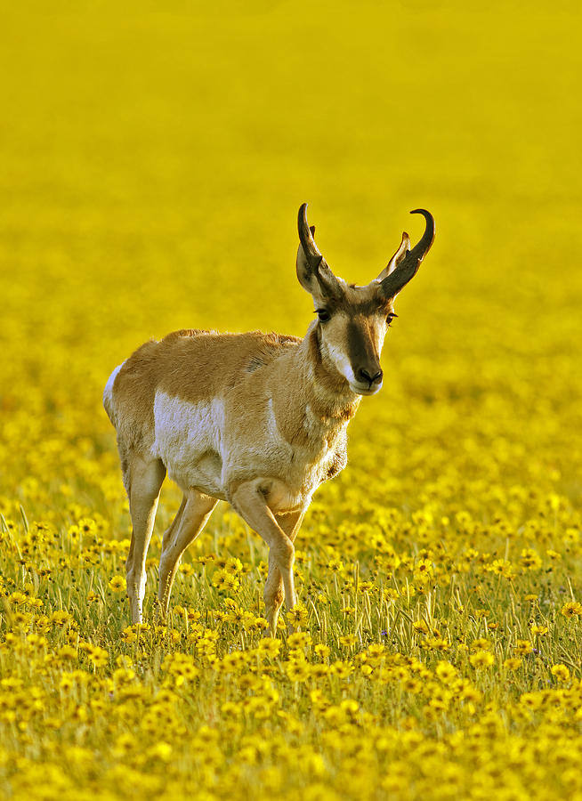 spring wildflowers in antelope - photo #3
