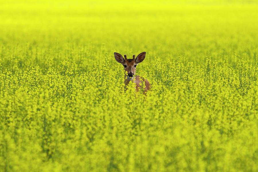 Buck In Canola Photograph