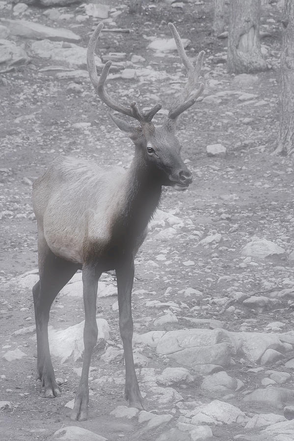 Buck Photograph - Buck In Fog On Hurricane Ridge - Olympic National Forest - Olympic National Park Wa by Christine Till