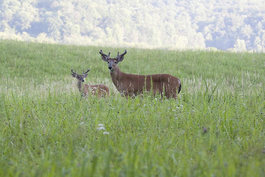Deer Photograph - Buck In Velvet II by Tina B Hamilton