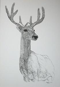 Print Drawing - Buck by Joanie Arvin