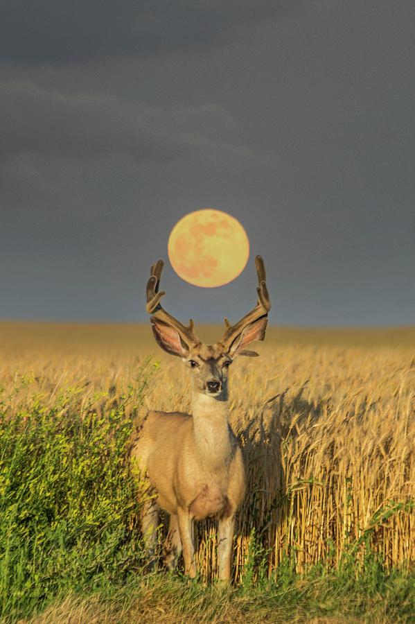 Deer Photograph - Buck Moon  by Aaron J Groen