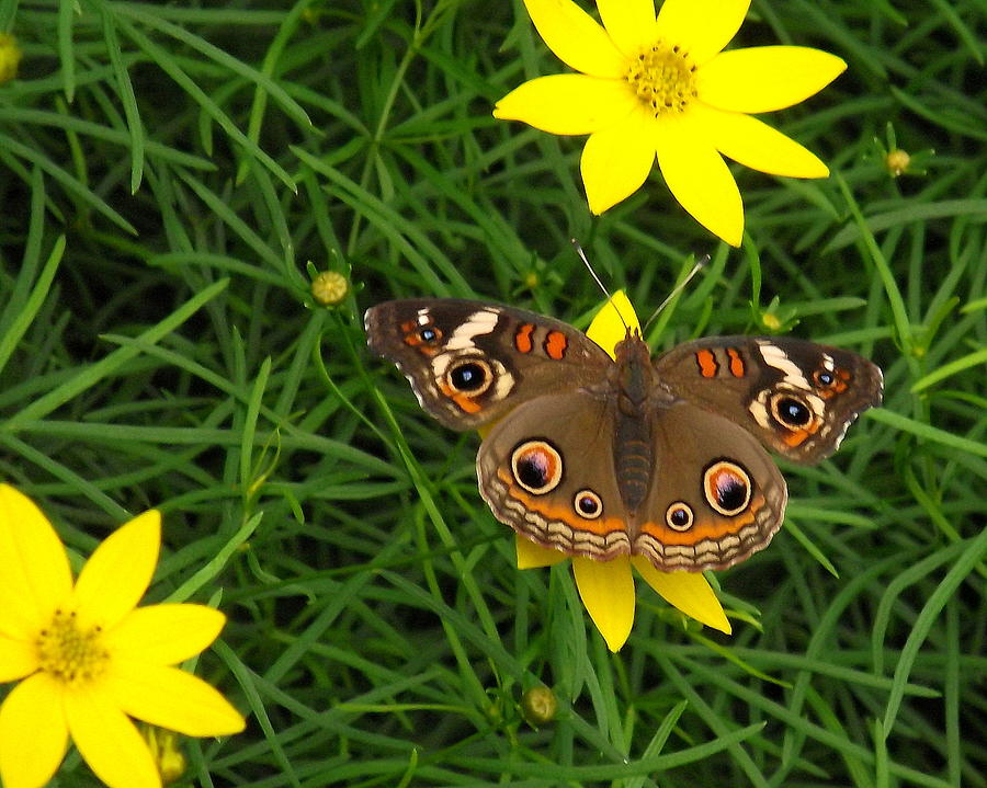 Buckeye Butterfly by John Olson