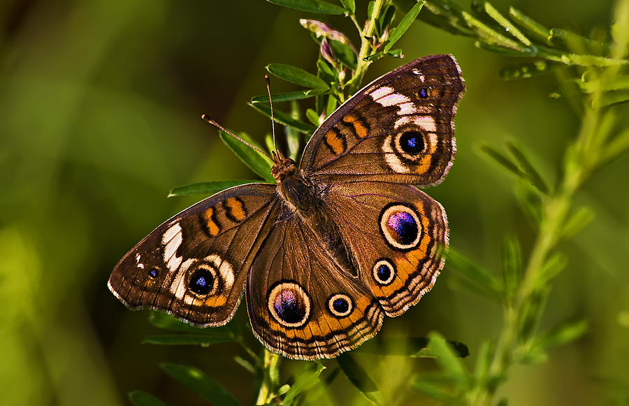 Insect Photograph - Buckeye Butterfly by Michael Whitaker