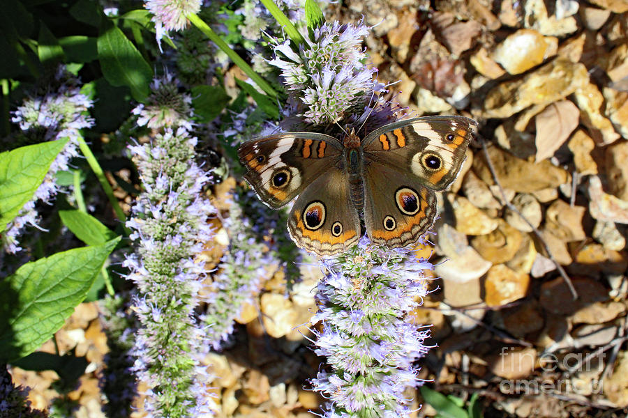 Buckeye Butterfly On The Move 2 Photograph