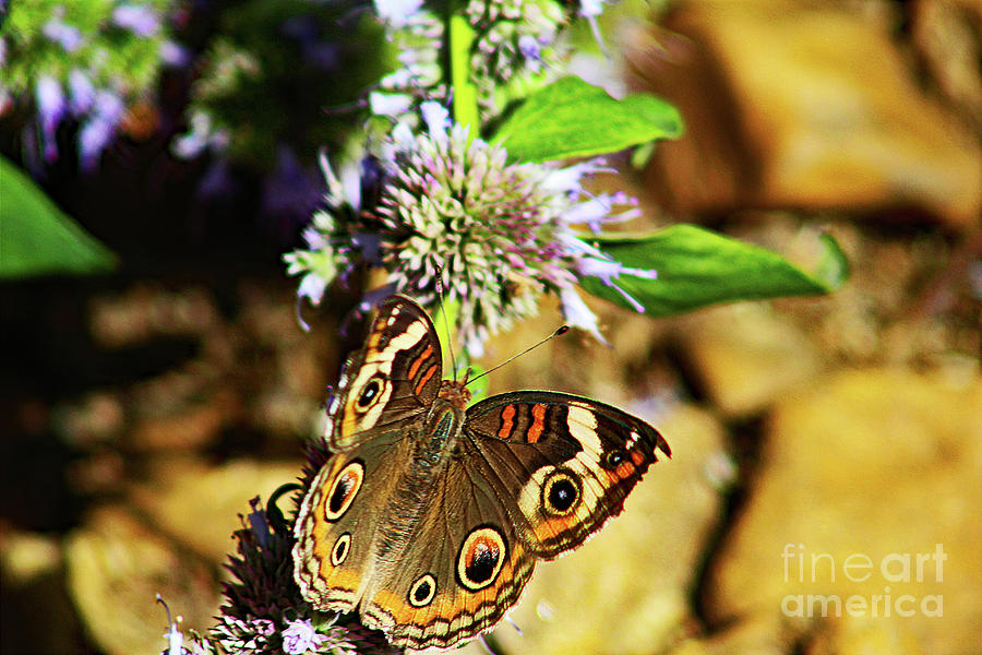 Buckeye Butterfly On The Move Photograph